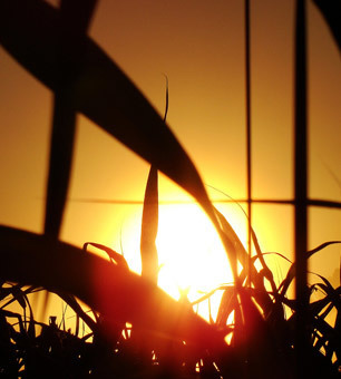 Reporting on Corn Shortage Does Our Future a Disservice by Overlooking Climate Change Link | Climate change challenges | Scoop.it
