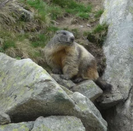 ÉCOSYSTÈME • La marmotte, animal ingénieux - Courrier International - Die Zeit | Vallée d'Aure - Pyrénées | Scoop.it