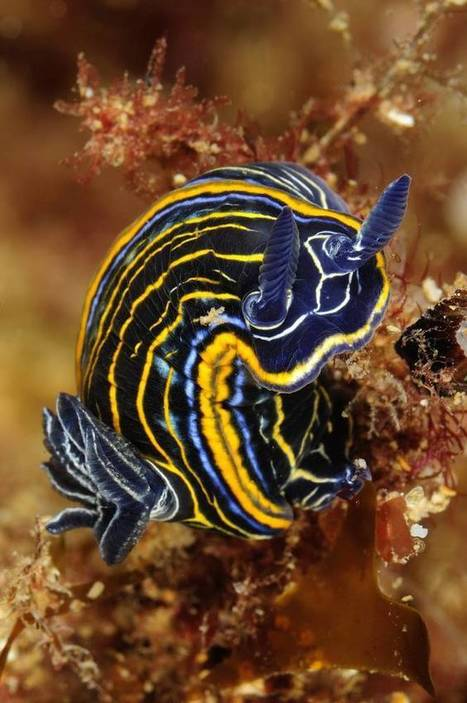 Explore the neon world of nudibranchs (Photos) | Biodiversity protection | Scoop.it