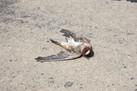 Can Birds Evolve to Avoid Being Road Kill? | Crescat scientia; vita excolatur | Scoop.it