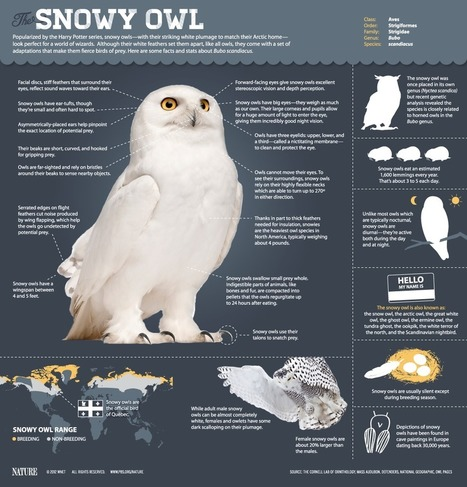 The Magic of the Snowy Owl | Daily Infographic | Public Relations & Social Media Insight | Scoop.it