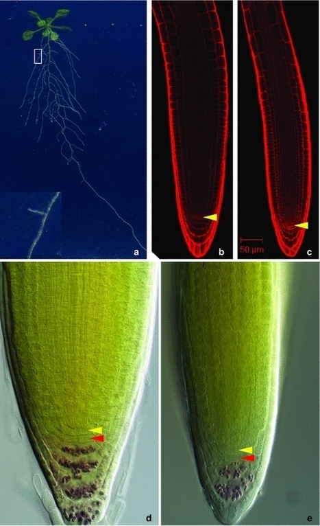 The key players of the primary root growth and development also function in lateral roots in Arabidopsis - Springer | Plant root and rhizosphere | Scoop.it