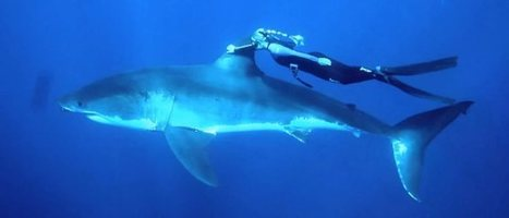 Une blonde nage en apnée avec un grand requin blanc - GoPro | Milieu marin | Scoop.it