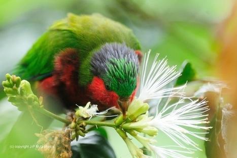 Les habitants de Rimatara veulent sauver le plus bel oiseau de Polynésie | Endangered Wildlife | Scoop.it