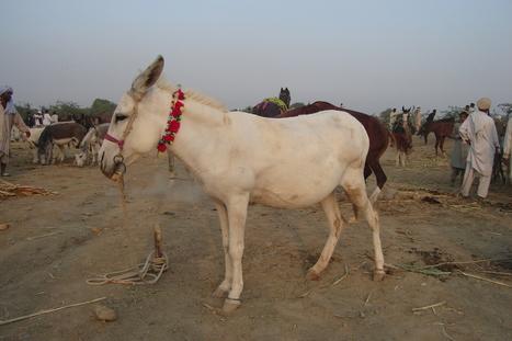 World Donkey Day (May 8) | Sustainable Livestock Agenda SLA | Scoop.it