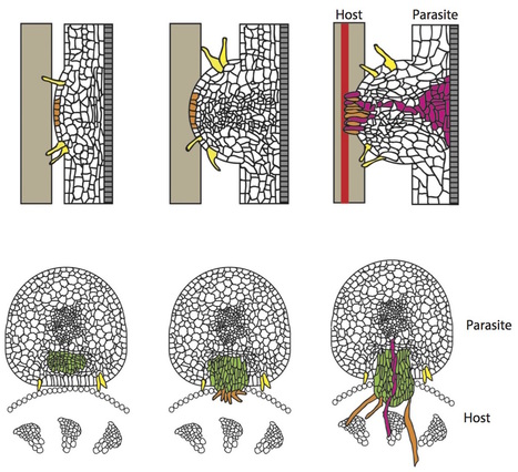 Annual Review of Plant Biology:The Haustorium, a Specialized Invasive Organ in Parasitic Plants (2016) | Parasitic Plants | Scoop.it