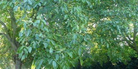 Récolte de la Noix de Grenoble: à partir du 28 septembre - France 3 Alpes | Noix, noisettes, châtaignes | Scoop.it