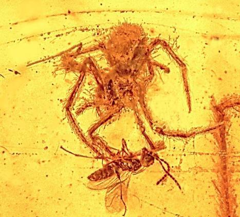 La première preuve fossilisée d'une attaque d'arachnide ! [en anglais] | EntomoNews | Scoop.it