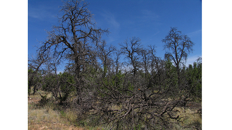 Forests Worldwide Vulnerable to Drought, UA Researcher Says | Arizona Public Media | CALS in the News | Scoop.it