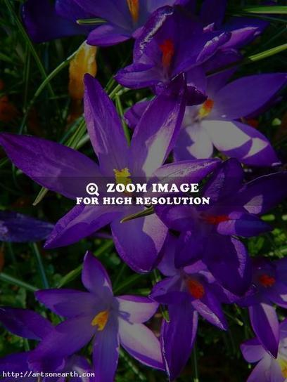 Welcome Spring with Crocus Flowers | Images | Scoop.it
