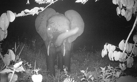 Scientists: we are 'condemning' forest elephants by ignoring evidence | Sustainable Futures | Scoop.it