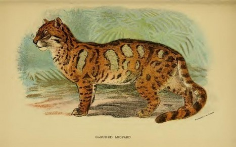 Reintroduction of the Clouded Leopard | 911 | Scoop.it