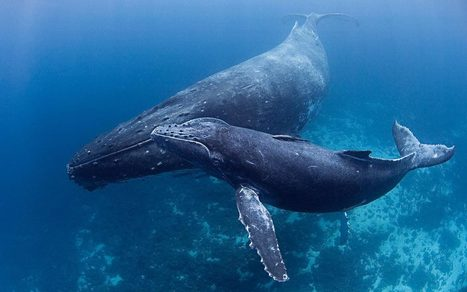Big mammals vs. big oil: New pipeline puts humpback whales at risk | Al Jazeera America | All about water, the oceans, environmental issues | Scoop.it