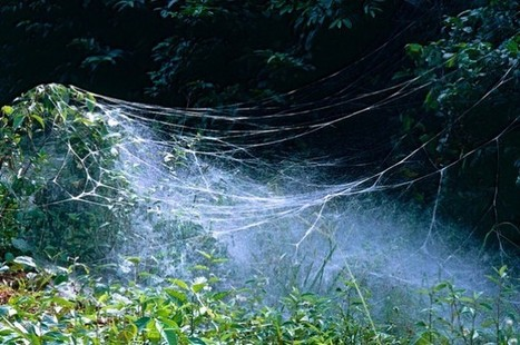 These Spiders Create 50,000-Strong Armies In The Peruvian Rainforest | Rainforest EXPLORER:  News & Notes | Scoop.it