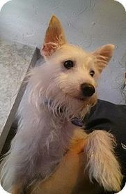 Akron, OH - Westie, West Highland White Terrier/Jack Russell Terrier Mix. Meet Spork a Dog for Adoption. | West Highland White Terrier | Scoop.it