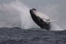 Whales show remarkable recovery - Newcastle Herald   In Deep Water   Scoop.it