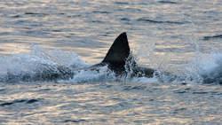 Un homme sauvé par un requin | Protection des Océans | Scoop.it