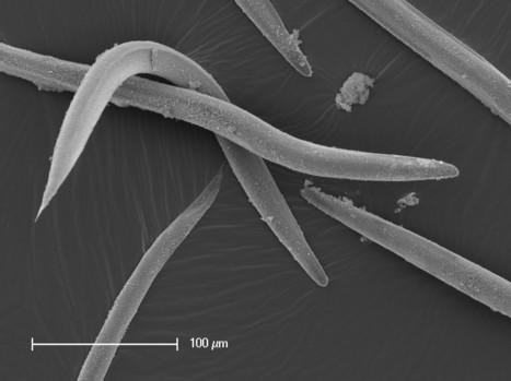 Des nématodes pour lutter contre des insectes ravageurs | EntomoNews | Scoop.it