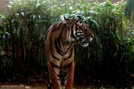 Indonesia | Men who sold 8 Sumatran tigers | Tourism : Collaterals | Scoop.it