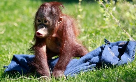 Apple and Orangutans: Apes Found to be Enamored with iPads | TIME.com | Into the Driver's Seat | Scoop.it