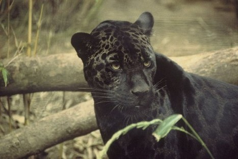 Black Cat Appreciation Day: Do You Know Your Melanistic Cats ... | Limber | Scoop.it