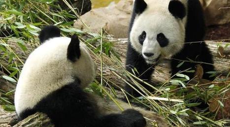 Du porno pour ranimer la libido des pandas menacés d'extinction ! | Mais n'importe quoi ! | Scoop.it