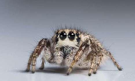 Jumping spiders are masters of miniature color vision / Les araignées sauteuses sont championnes en vision des couleurs | EntomoNews | Scoop.it