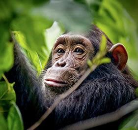 Chimp tracking   Uganda Travel Ideas   Scoop.it