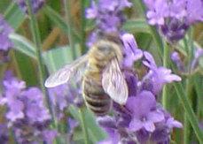 Piqûre de guêpe, d'abeille, de frelon et de bourdon | ALTERAPI | Scoop.it