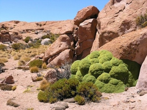Amazing Yareta, The 3.000 Years Old Plant | Amazing World Facts | New Cars Release | Scoop.it
