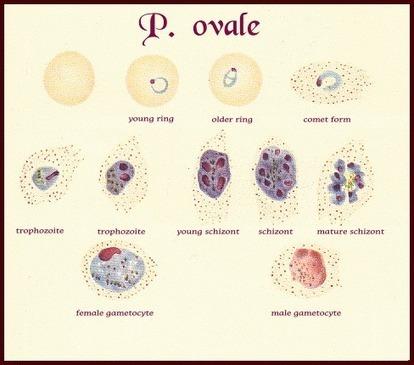 Plasmodium ovale   Plasmodium spp.   Scoop.it