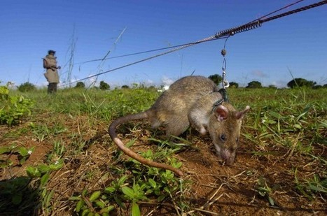 Bitcoin Donations Can Now Fund Mine-Detecting 'Super Rats' | Peer2Politics | Scoop.it