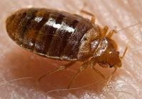 Research: Bedbugs Can Thrive Despite Inbreeding | interesting-things2me | Scoop.it