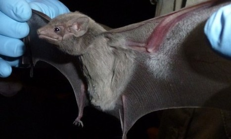 Bat Out of Hell? Egyptian Tomb Bat May Harbor MERS Virus | Science/AAAS | News | Biomedical Beat | Scoop.it
