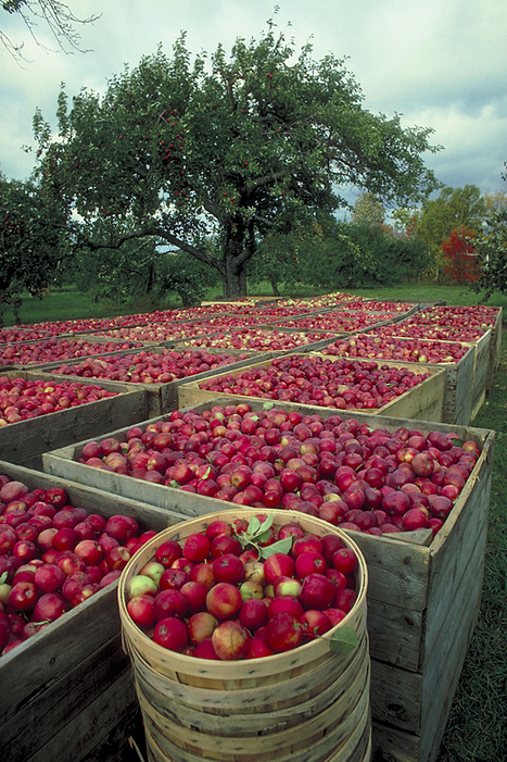 Picking and Storing Apples and Pears | The Miracle of Fall | Scoop.it