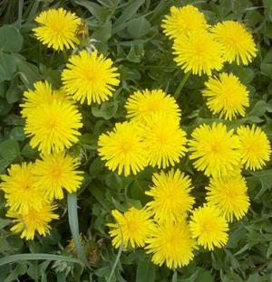 Dandelions: They are good for you, easy to find and grow and beautiful as well | 'Fish & Chips' - Food & Drink IT | Scoop.it