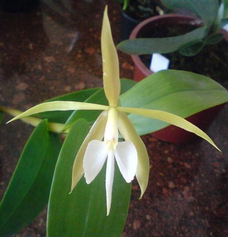 Bulbophyllum nocturno: Una enigmatica flor que solo vive una noche | Agua | Scoop.it