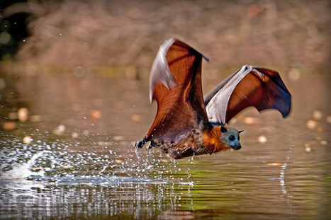 Killer climate: tens of thousands of flying foxes dead in a day | Science and Nature | Scoop.it