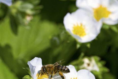 Ces indispensables abeilles - Express Drummondville -Québec | Abeilles, intoxications et informations | Scoop.it