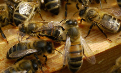 Pesticide makes bees forget the scent for food, new study finds   Innovation, Environmental and Energy Sciences   Scoop.it