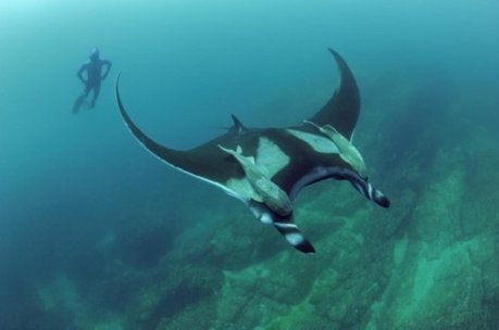 Manta rays are local commuters, not long-distance travelers, study finds: Study has important implications for the threatened species' conservation | Marine Conservation Research | Scoop.it