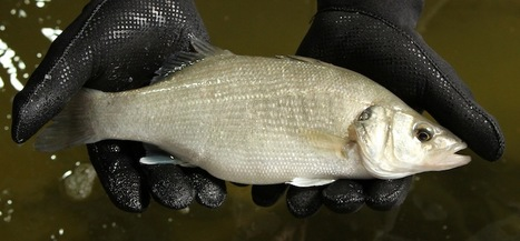 European Sea Bass grown on land | Aquaculture | Scoop.it