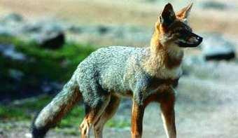 Habilitan la caza de zorro en Buenos Aires - Perfil.com | Producción Avanzada de Aves | Scoop.it