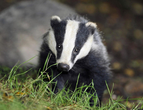 """Why Vaccinating Badgers Is a Viable Alternative to the Cull (Despite What ... - Huffington Post UK (blog) 