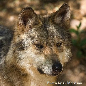Tell Governor Martinez it's time to end the war on New Mexico's wolves and other carnivores   GarryRogers NatCon News   Scoop.it