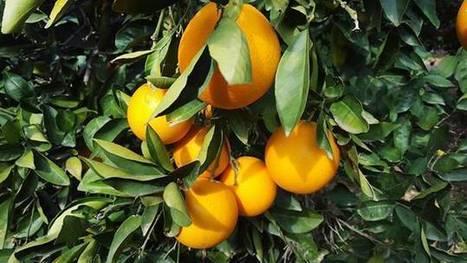 Les agrumes au Liban: une filière en déclin - Soraya Riachi | Fruits & légumes à l'international | Scoop.it