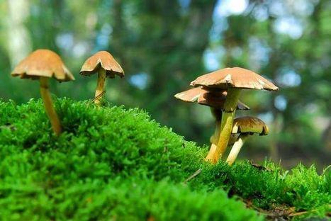Magic mushrooms growing guide   Magic Mushroom Mastery   Scoop.it