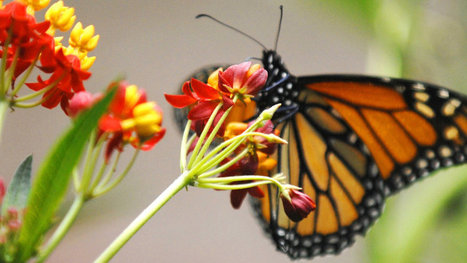 Setting the Table for a Regal Butterfly Comeback, With Milkweed | enjoy yourself | Scoop.it
