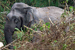 Asian Elephant – Saving Wildlife - Wildlife Conservation Society | conservation in southeast asia | Scoop.it