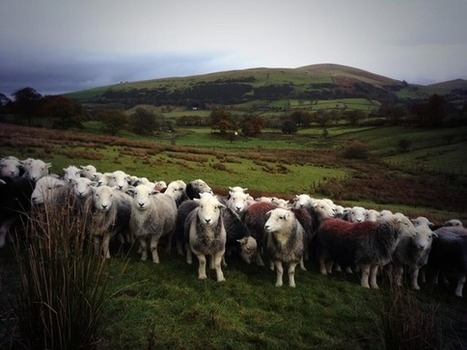 What an anonymous British sheep farmer can teach us about the power of Twitter | Best of the Week | Scoop.it